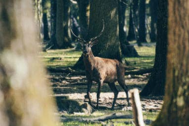 Why Eurail is your greenest choice | A deer in Rambouillet Forest, France